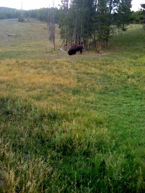 Buffaloed Again
